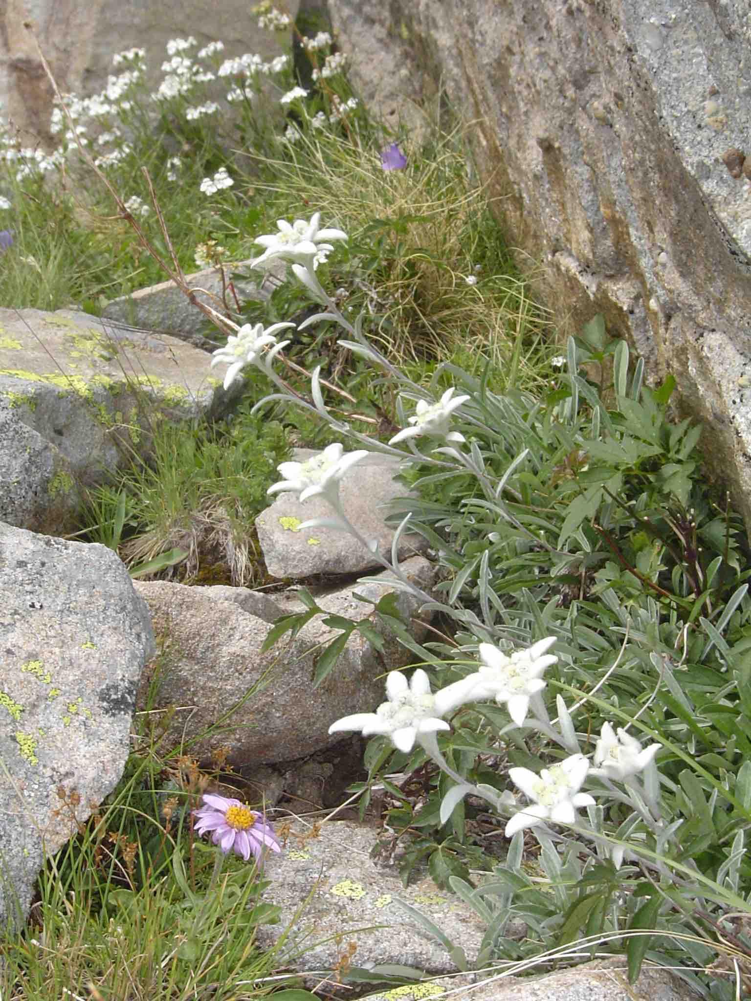 princesse edelweiss