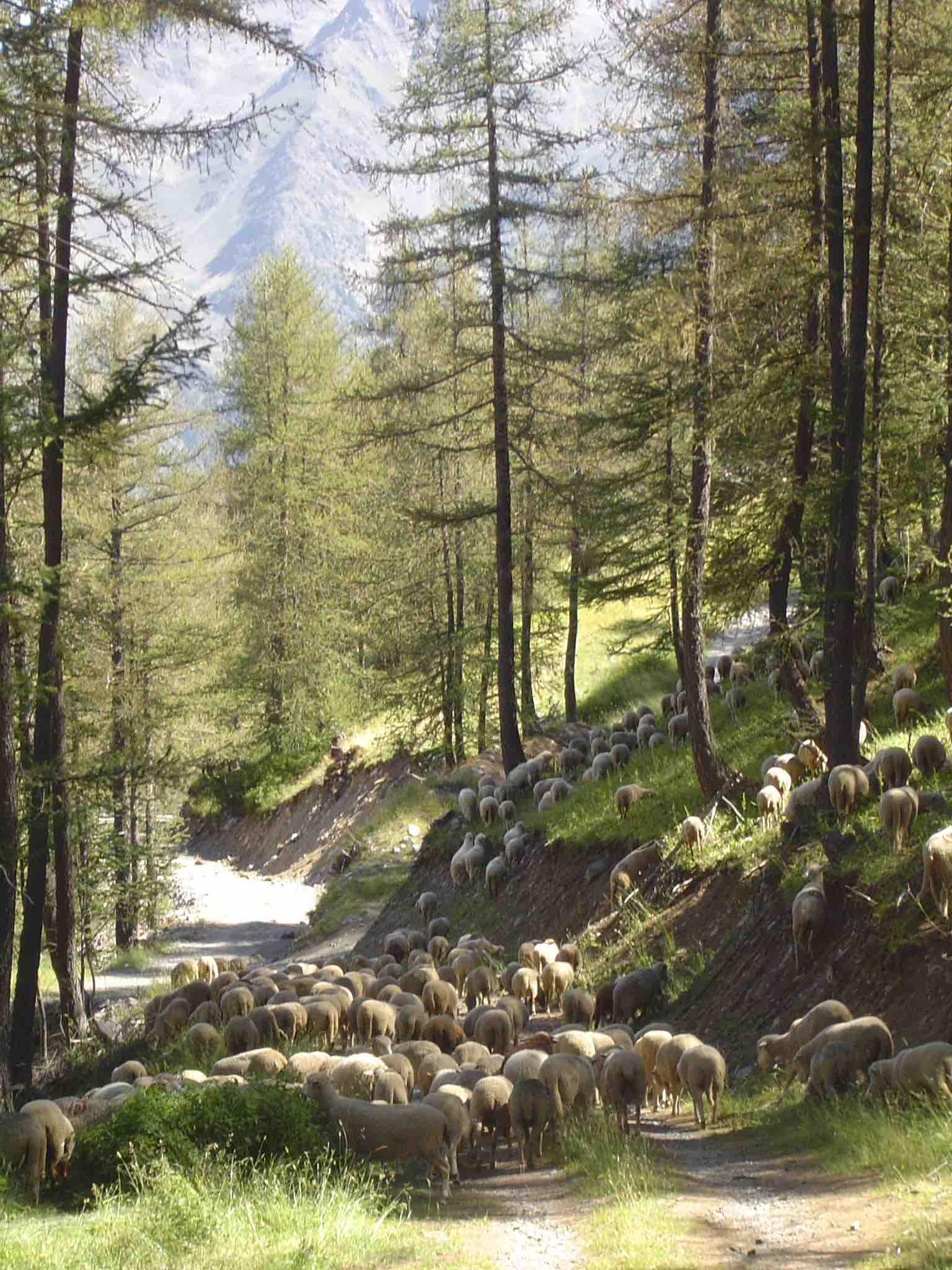 moutons à auron