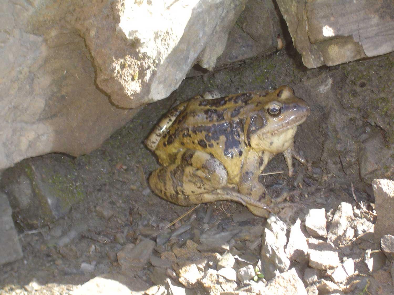 grenouilles d'Auron