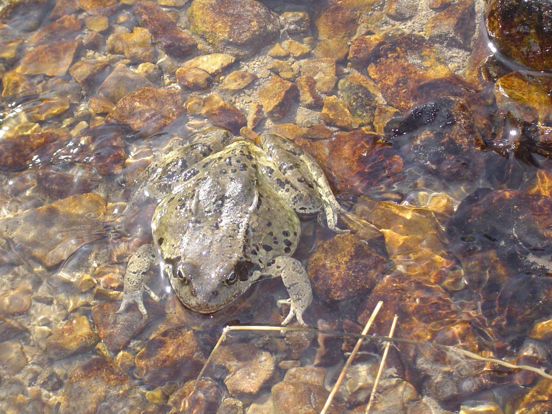 grenouille d'Auron