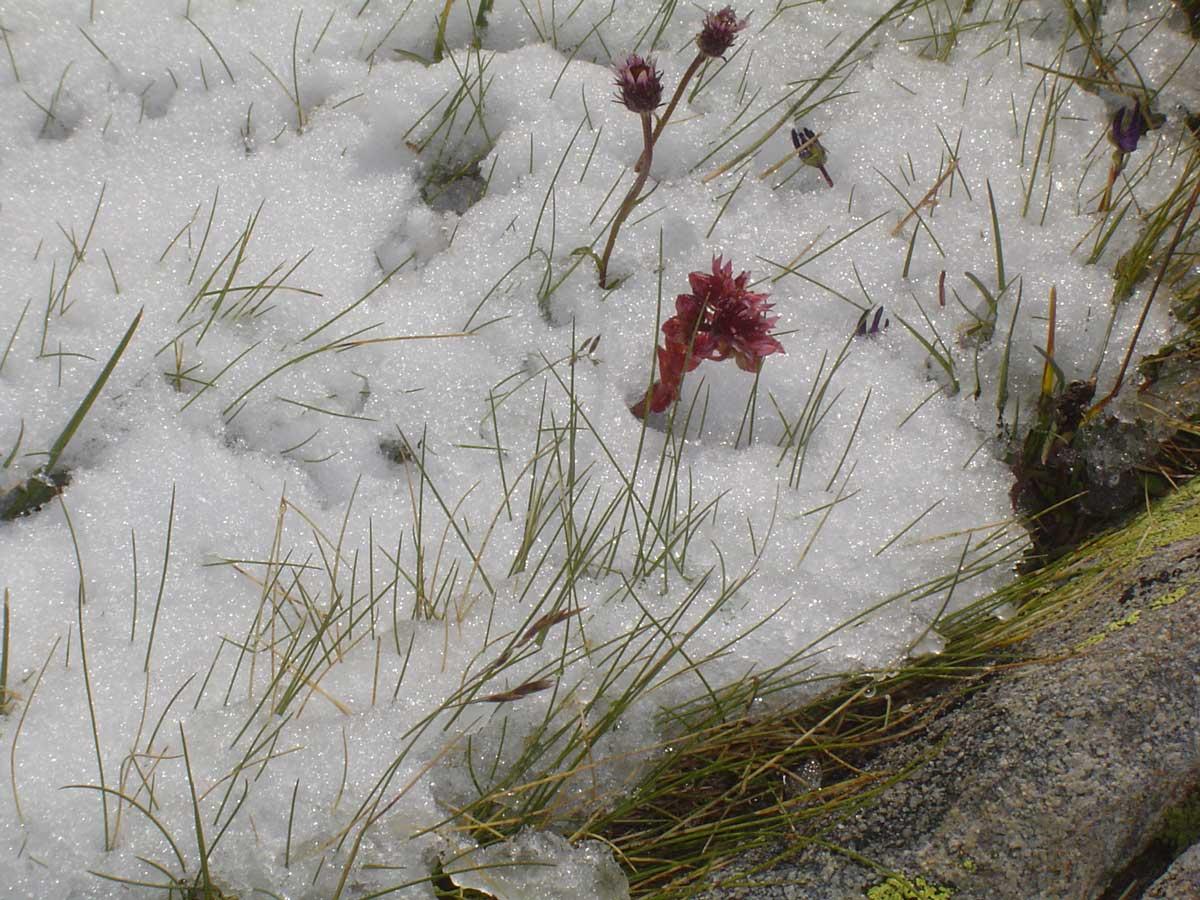 fleurs et neige d'Auron