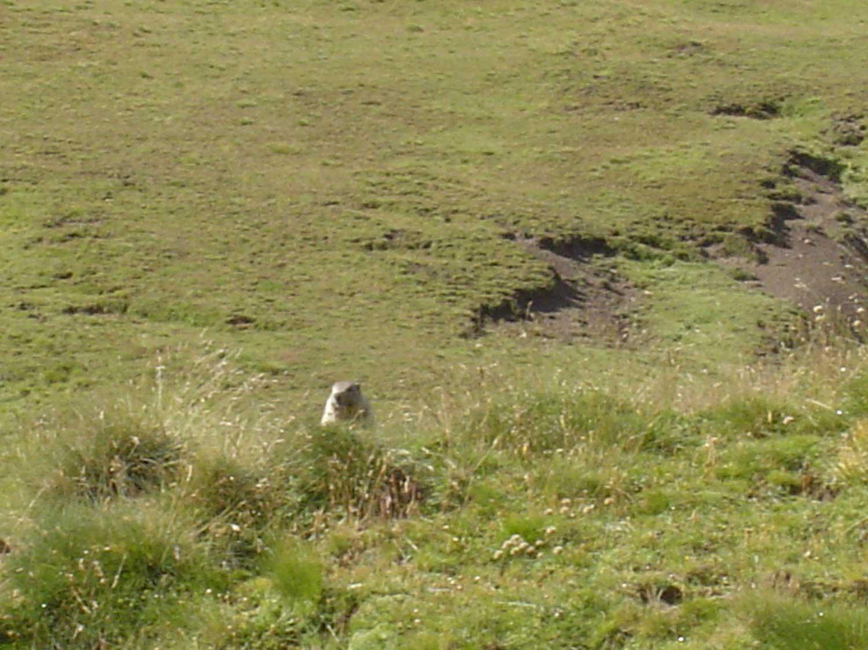 marmottes à Auron